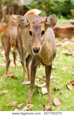 close up the hog deer in the zoo