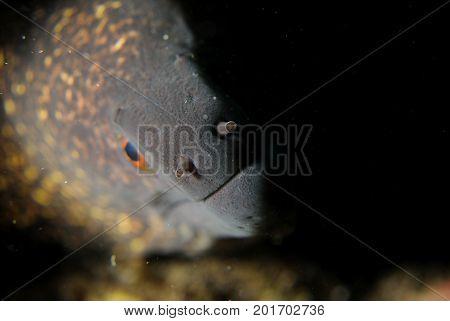 close up of Moray Eel, black background