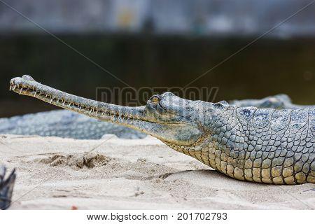 Gharial Crocodile At The Chitwan National Park, Nepal