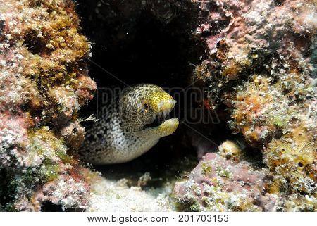Common Moray Eel , hiding itself in hole