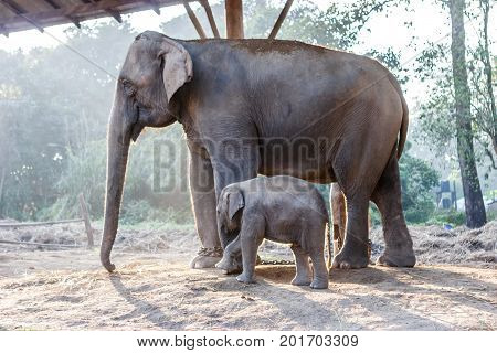 Baby Elephant And Its Mother At The Chitwan National Park, Nepal