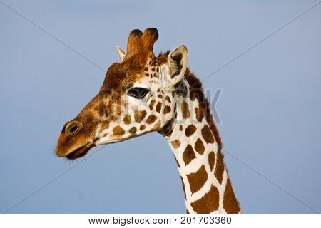 Profile portrait of a young reticulated giraffe (Giraffa camelopardalis). Ol Pejeta Conservancy Kenya.
