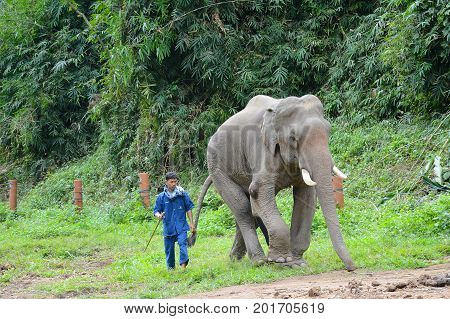 CHIANG RAI THAILAND - JANUARY 7 2017: A Mahout with atop his elephant. At the Anantara Golden Triangle Elephant Camp a charity designed to help elephants and their handlers.