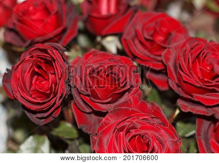 Festive bouquet of beautyful red roses close up