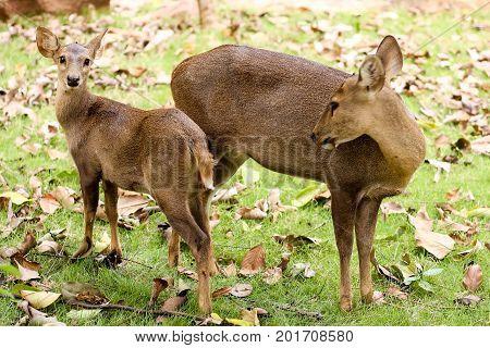 the hog deer in the zoo thailand