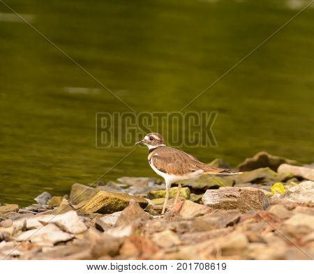 A Kildeer (Charadrius vociferous) standing on a rocky beach, looking out to the water, on a lake in southern Pennsylvania.