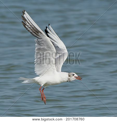 White seagull with fish in its beak flying over the sea