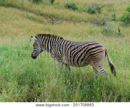 Burchell zebra with brown sand on its side