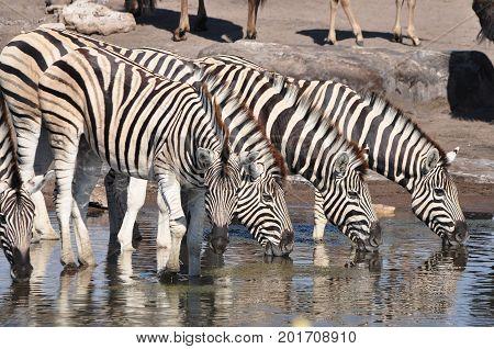 Four Burchell zebras in a row drinking