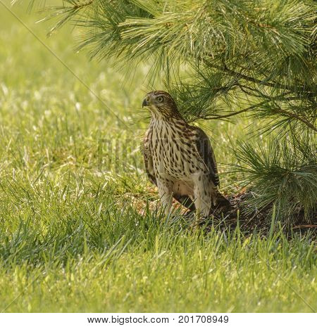A young Coopers Hawk (Accipiter cooperii) a hawk found throughout North America, rests on the ground in the shade of a white pine tree on a sunny day in Carroll County, Maryland, USA.