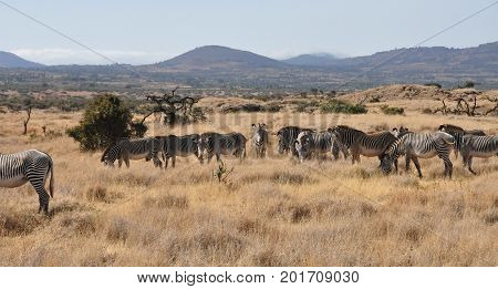 A herd of Grevy zebras with a mountain ridge in the background