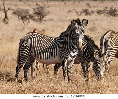 Some Grevy zebras in the afternoon light