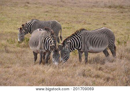 A small herd of Grevy zebras grazing