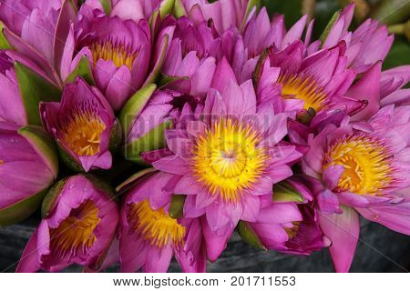 Beautiful Waterlily or lotus  colorful background .