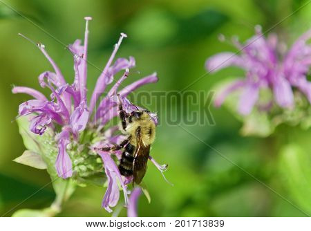 Isolated Photo Of A Honeybee Sitting On Flowers