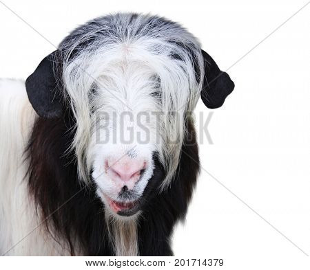Goat muzzle of black and white color. Isolated on white background