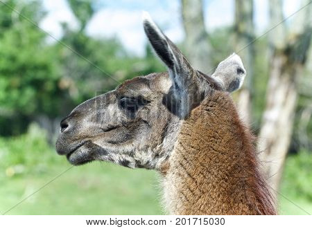 Isolated Photo Of A Llama Looking Aside In A Field