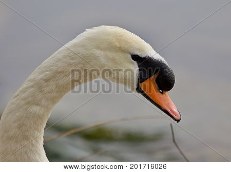 Beautiful Isolated Photo Of A Strong Mute Swan