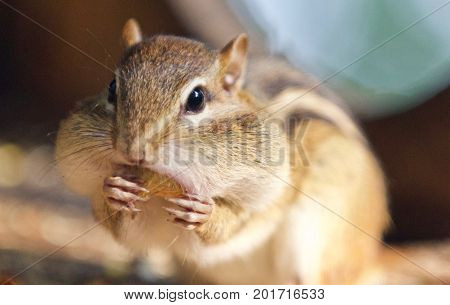 Photo Of A Cute Funny Chipmunk Eating Something