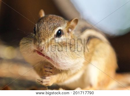 Image Of A Cute Funny Chipmunk Eating Something