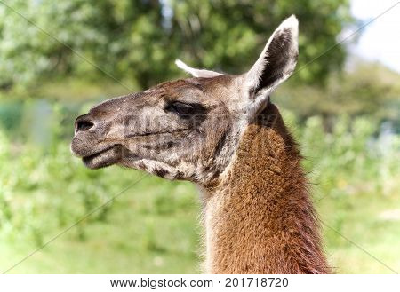 Isolated Picture With A Llama Standing Awake