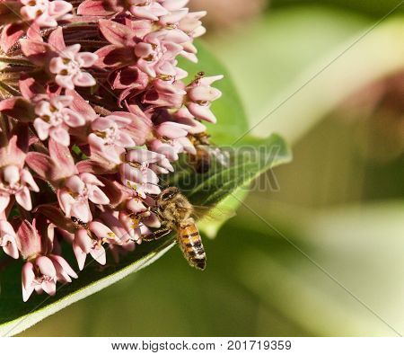 Image Of A Honeybee Flying Near Flowers In Forest