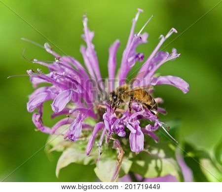 Isolated Image Of A Honeybee Sitting On Flowers