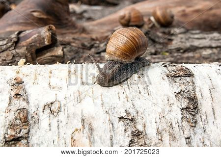 Burgundy Snail (helix, Roman Snail, Edible Snail, Escargot) Crawling On The Trunk Of Old Birch Tree.