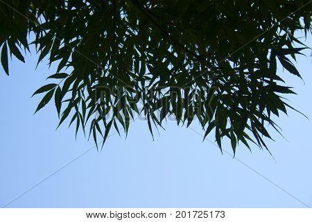 Spiky tree leaves intrude on bright blue sunny day.