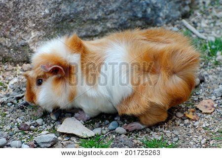 Single guinea pig outside in the sun