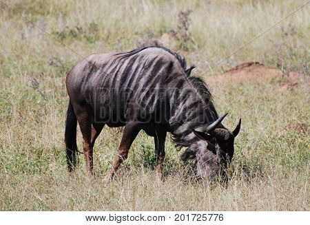 A single blue wildebeest grazing in a dry landscape