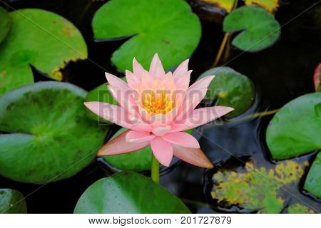 Delicate blossoming lotus flower