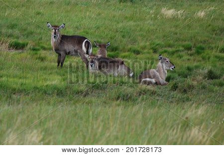 A herd of waterbucks being at ease