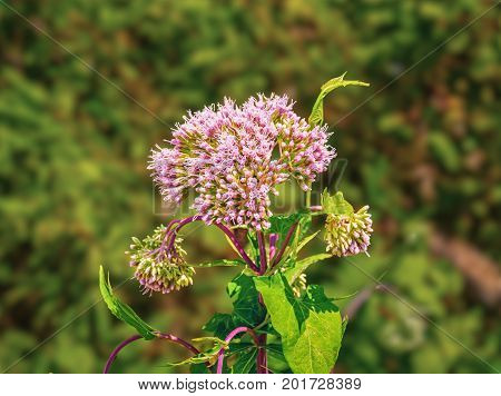 Pink Spotted Joe-pye Weed Flower Or Eutrochium Maculatum Blurred Background