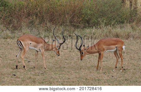 Two male impalas ready to fight to conquer the females
