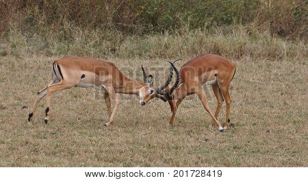 Two male impalas fighting over dominance and the herd