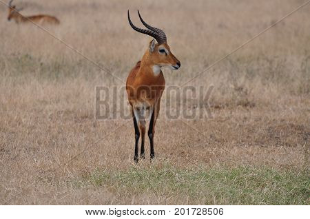A big male impala looking right over the plains