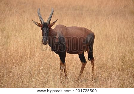 A red hartebeest looking directly into the camera