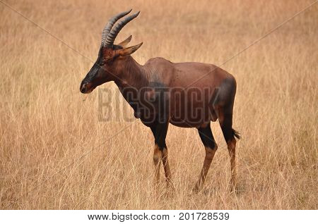 A red hartebeest looking left in a dry landscape