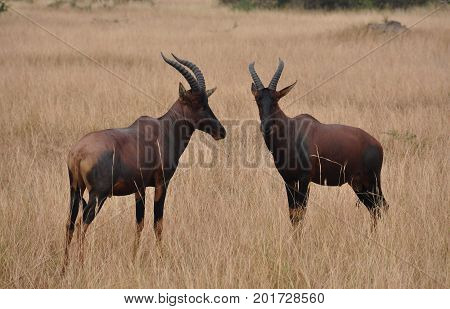 pair of red hartebeest nicely lined up