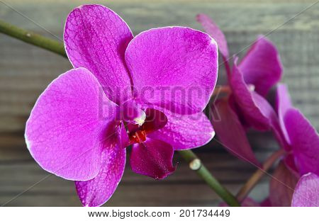 Orchid flower in on wooden background.Phalaenopsis Orchid flower growing on Tenerife,Canary Islands.Orchids.Floral background.Selective focus.