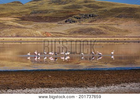 Flamingo in Peru