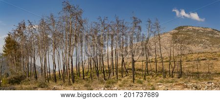 Trees growing after fire