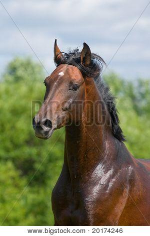 portrait of the bay trakehner stallion