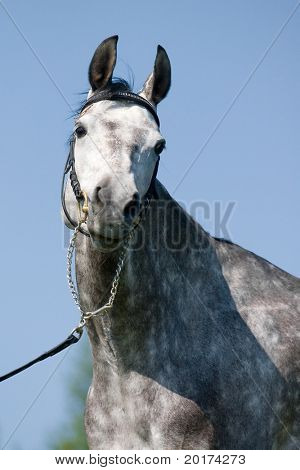 poster of portrait of the grey stallion
