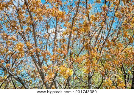 Maple tree in with golden foliage on blue sky background. Beautiful nature at a fall.