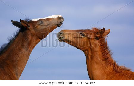 two tkakehner foals