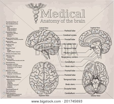 Medical anatomy of human Brain. Medicine Vector illustration poster. Anatomical Medical study info graphics banner for education. Functional areas of cerebral cortex named lobe parts