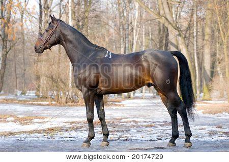 eksterjer of black stallion