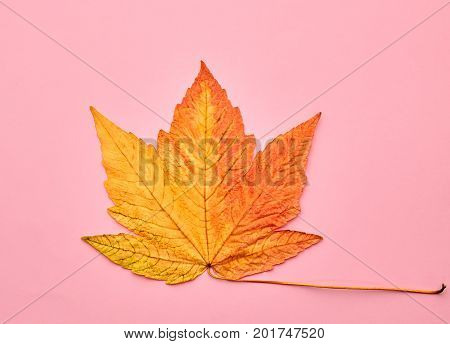 Autumn Arrives. Fall Leaves Background. Fall Fashion Design. Art Gallery. Minimal. Yellow Maple Leaf on Pink. Autumn Vintage Concept